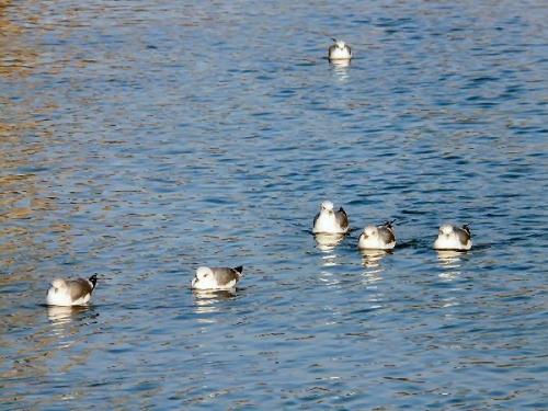 09a 500 gulls