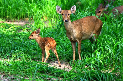 09b 500 Deer_with_Fawn