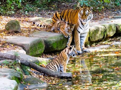 09c 500 Tiger with cub