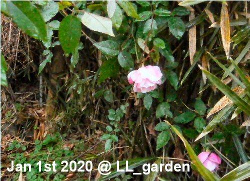 03c 500 20200101 Roses LL_garden