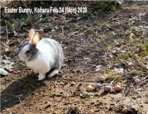 01a 600 20200224 Easter Bunny Koharu