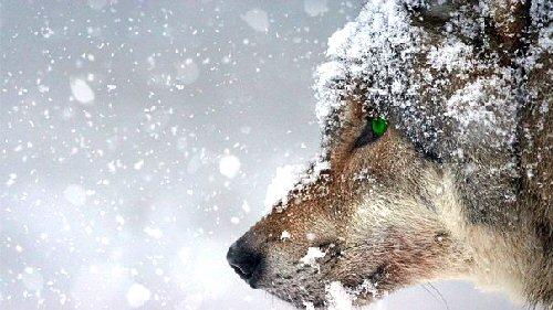 03a 500 wolf green eyes