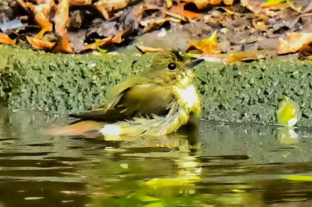 キビタキの女の子水浴び