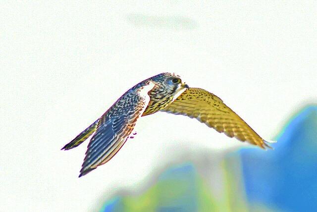 チョウゲンボウの女の子 飛翔