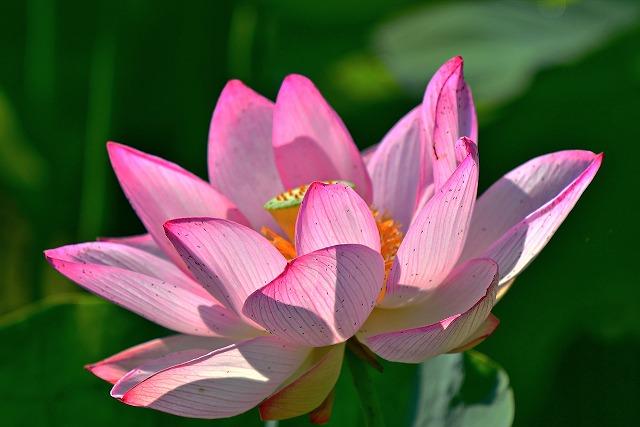臼杵石仏の蓮畑開花状況