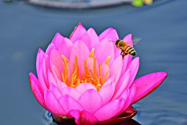 睡蓮とミツバチ