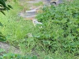 IMG_8616 地域猫シロ