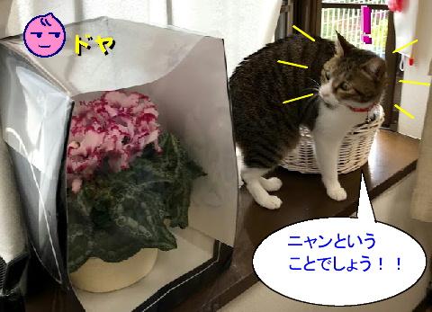 シクラメンと猫
