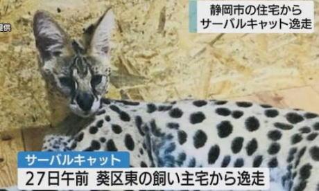 静岡市葵区の住宅で飼育されていたサーバルキャット、逃走して行方不明に … オスのサーバルキャット1歳、体長70cm、体重は10kg、目撃した場合は連絡するよう呼びかけ
