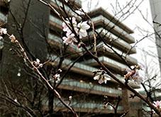 20191217桜 開花?