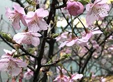 2020224広尾の桜2