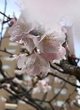 2020224広尾の桜1