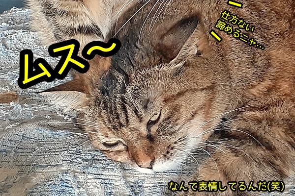 ボス猫 ニャポ