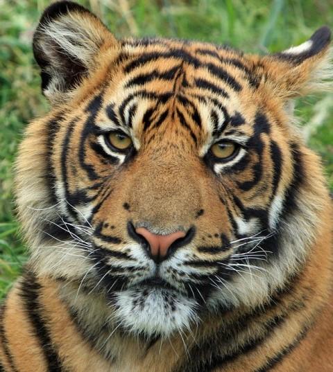 tiger-165189_960_720.jpg