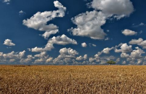 wheat-field-4884970_960_720.jpg