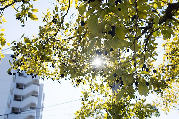 街路樹の木の実