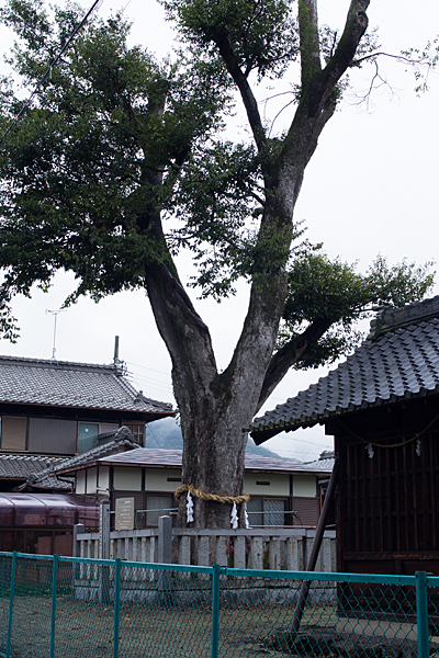 村国神社御旅所御神木クスノキ