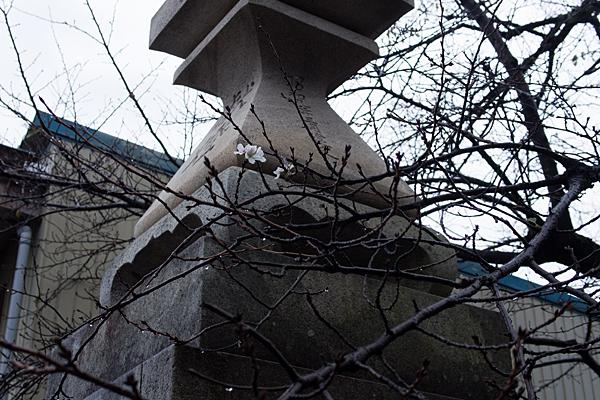 手力雄神社晩秋に咲く桜