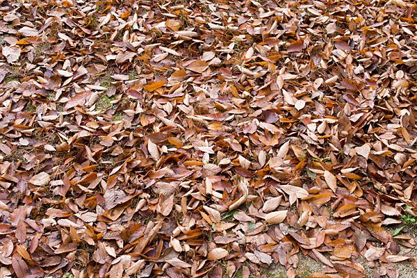 枯れ葉の落ち葉