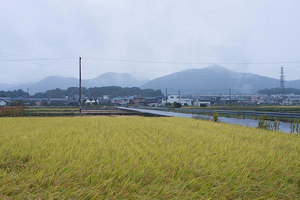 雨の各務原実った稲と山風景