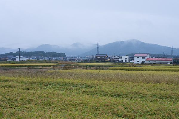 雨の各務原稲の刈り入れ風景