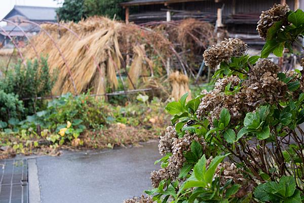 雨の各務原枯れ紫陽花と稲