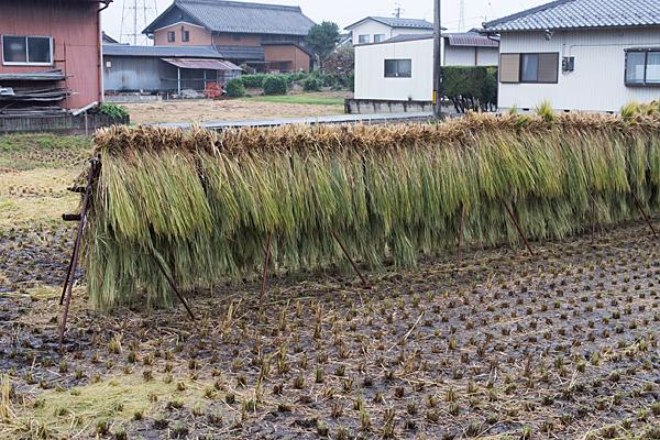 雨の各務原借り入れられた稲