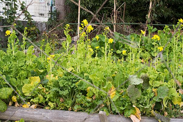 町中の菜の花