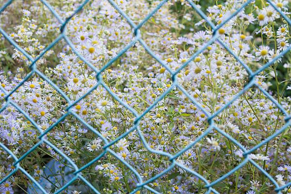 フェンスの中のハルジオン