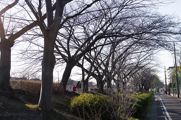 香流川桜並木の2月