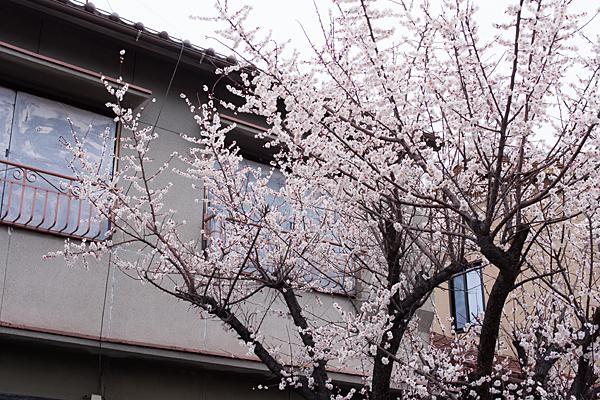 空き家の梅が満開