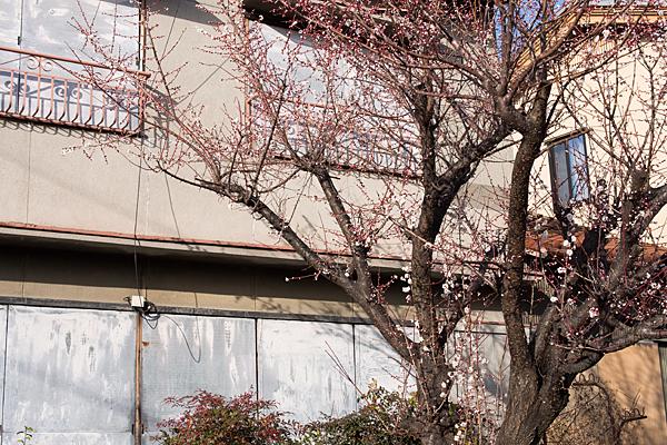 空き家の梅咲き始め