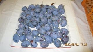 1プルーン収穫