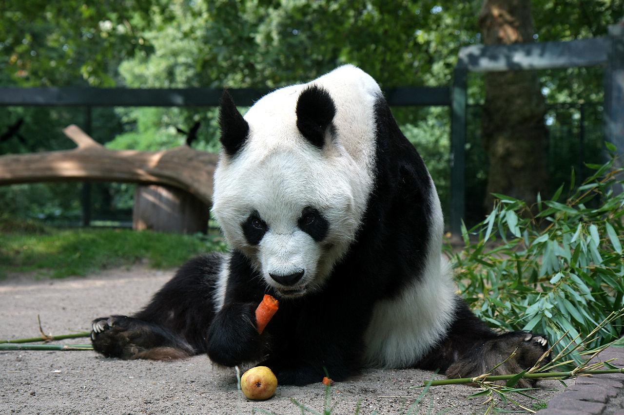 パンダは檻に入れて監視するだけでなく、殺しちゃった方が良いのかも!