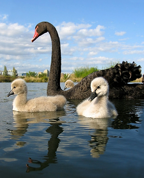 Cygnus_atratus_-adult_with_chicks_in_Australia-8.jpg