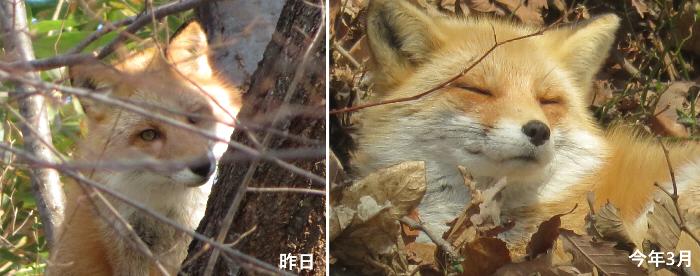 20191210月寒公園キタキツネ1