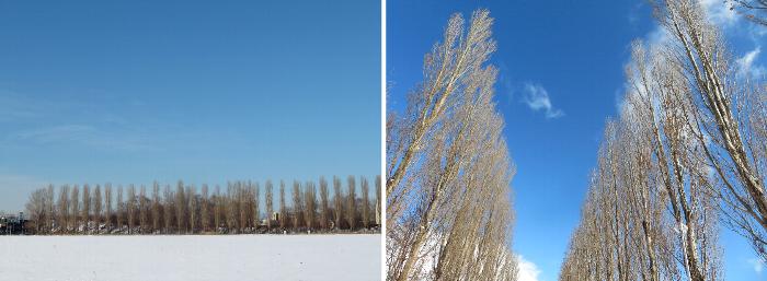 20200116北大ポプラ並木
