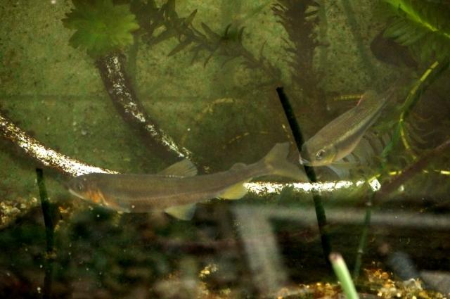 2月中旬の鮎、60cm水槽にて