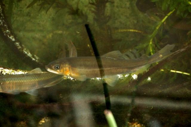 2月中旬。飼育している鮎、60cm水槽にて