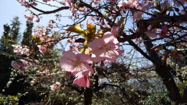 庭に咲いた河津桜