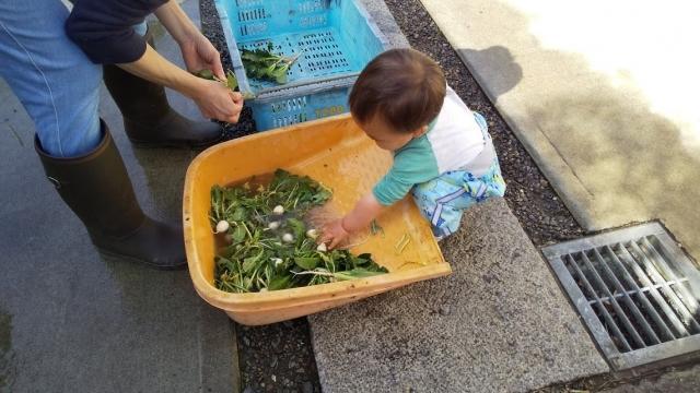 採った子蕪を洗う息子