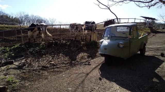 牛や羊ととミゼット