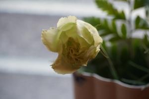 トルコ桔梗1