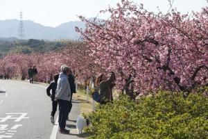 湊川の河津桜1