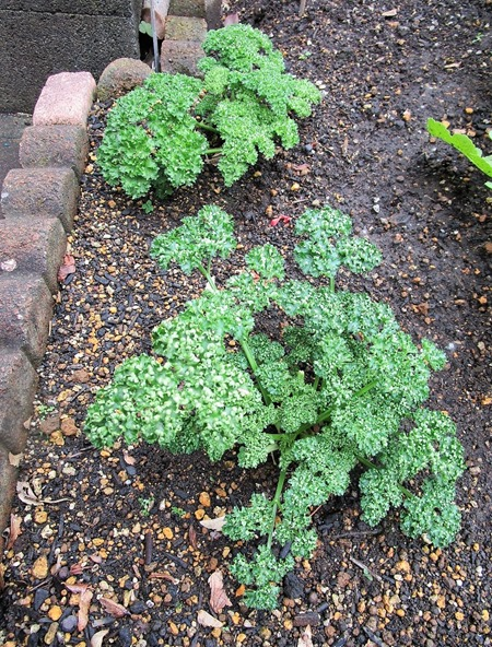 200127parsley