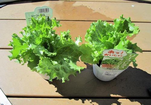 200227leaf_lettuce_nae