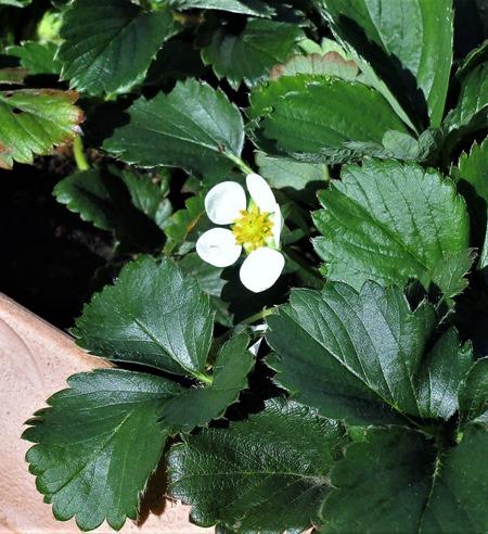 200316strawberry
