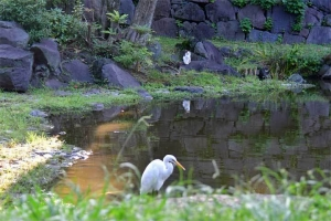 Myi The Cat and Great Egret