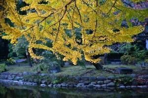 Autumn (Ginkgo)