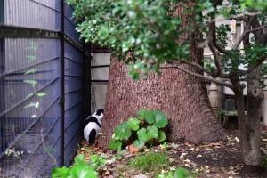 クスノキとフェンスの間に隠れる猫